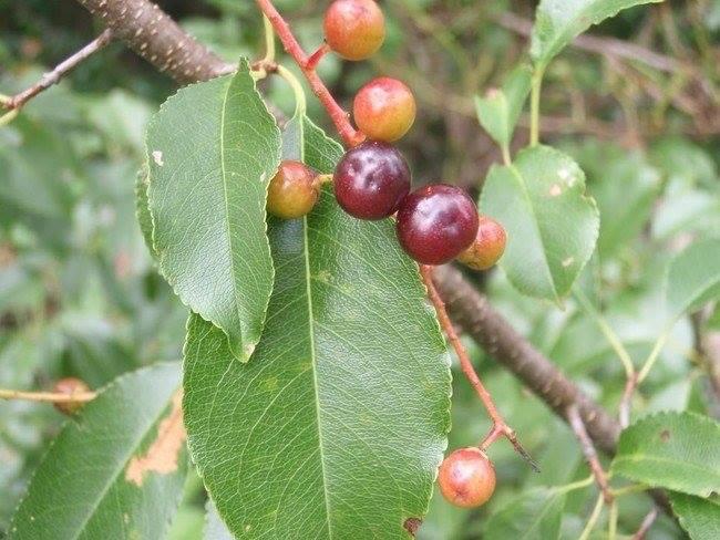 Anh đào dại (Wild cherries)