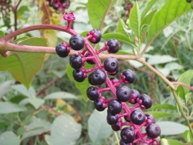 Quả thương lục Mỹ (Pokeberries)